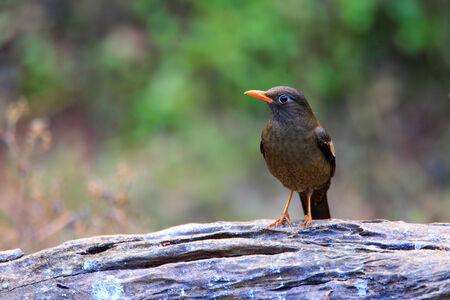turdus: Grey-winged Blackbird  Turdus boulboul  female in Thailand