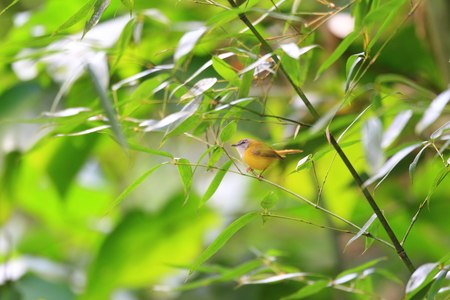 warbler: Yellow-bellied Warbler  Abroscopus superciliaris  in North Thailand Stock Photo