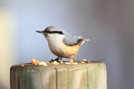 honshu: Eurasian nuthatch  Sitta europaea  in Honshu, Japan Stock Photo