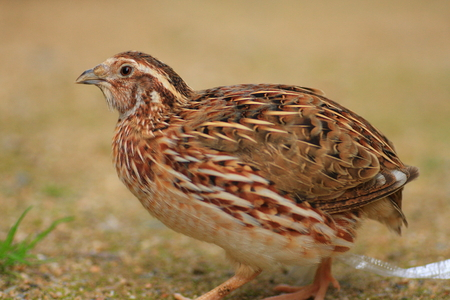 japanese quail: Japanese Quail  Coturnix japonica  in Japan Stock Photo