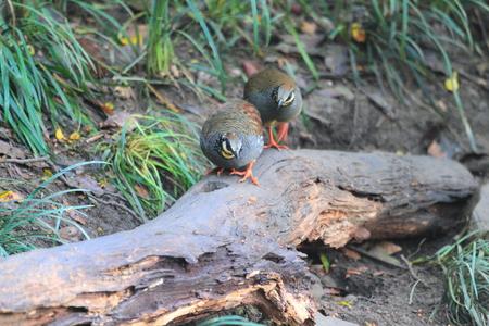 kuropatwa: Taiwan Partridge  Arborophila crudigularis  in Taiwan