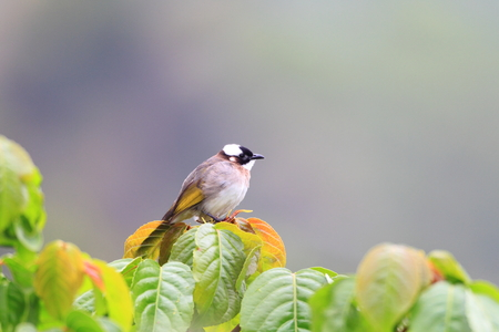 Light-vented Bulbul  Pycnonotus sinensis  in Taiwan photo