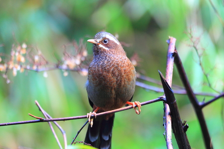 laughingthrush: Bianco-whiskered morrisonianum Laughingthrush Trochalopteron in Taiwan