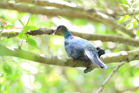 columb: Japanese wood pigeon  Columba janthina  nitens  in Japan