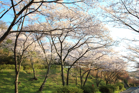 Japanese Cherry blossoms tree or sakura in Japan