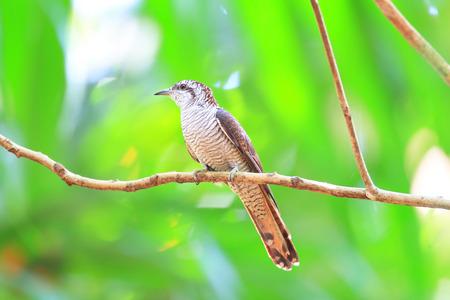 un coucou: Bandes Bay coucou ou Bay-bandes sonneratii Coucou Cacomantis au Sri Lanka Banque d'images