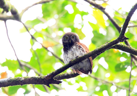 Chestnut-backed Owlet  Glaucidium castanotum  in Sri Lanka Stock Photo - 27432605