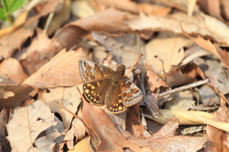 lepidopteran: Erynnis montanus butterfly in Japan Stock Photo