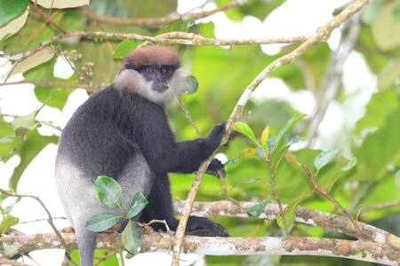 semnopithecus: Tufted gray langur  Semnopithecus priam  in Sinharaja Forest Resorve