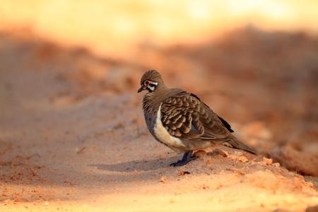 squatter: Squatter Pigeon  Geophaps scripta  in Australia