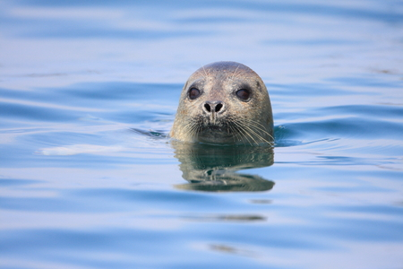 pinniped: Spotted Seal  Phoca largha  in Hokkaido, Japan