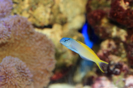blenny: Yellowtail Fang Blenny or Forktail blenny  Meiacanthus atrodorsalis  in Japan