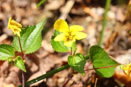 endemic: Viola brevistipulata, Japanese Endemic Viola