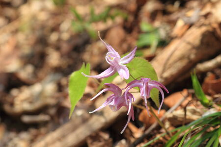 fairy wings: Barrenwort,bishop s hat,fairy wings,horny goatweed Epimedium grandiflorum in Japan Stock Photo