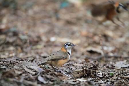 lesser: Lesser Necklaced Laughingthrush  Garrulax monileger  in Thailand