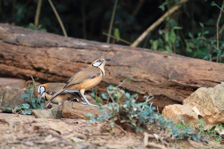 laughingthrush: Lesser Necklaced Laughingthrush  Garrulax monileger  in Thailand