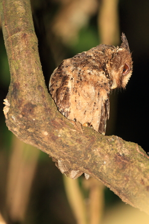 palawan: Palawan Autillo Otus fuliginosus en la isla de Palawan, Filipinas Foto de archivo