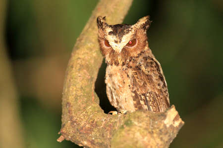 palawan: Palawan Scops Owl  Otus fuliginosus  in Palawan Island, Philippines
