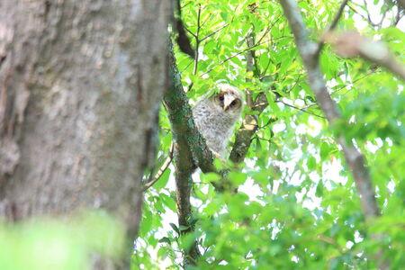 ural owl: Ural Owl  Strix uralensis momiyamae  chick in Japan Stock Photo