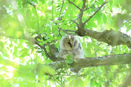 Ural Owl  Strix uralensis momiyamae  chick in Japan photo