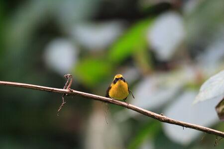 arunachal pradesh: Yellow-bellied Fantail  Chelidorhynx hypoxantha  in Arunachal Pradesh,India Stock Photo
