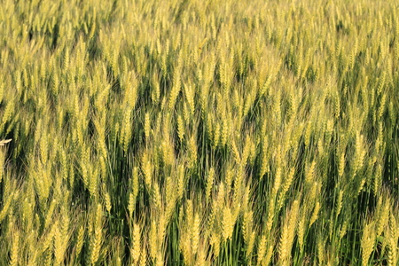 Wheat grass filed against sunlight in Japan photo