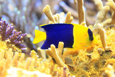 damsels: Bicolor angelfish  Centropyge bicolor  in Okinawa, Japan Stock Photo