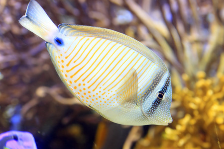 sailfin: Sailfin tang  Zebrasoma veliferum  Red Sea Type