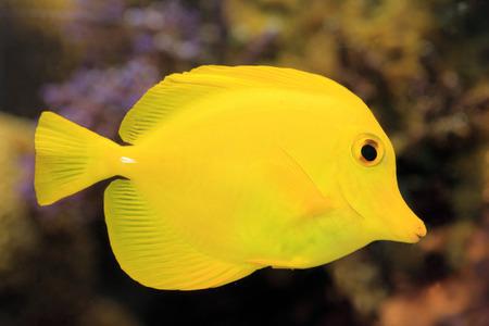 surgeon fish: Peces cirujano Zebrasoma flavescens amarillos en Jap�n