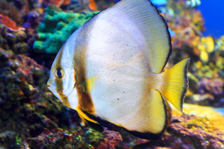 platax: Tiera batfish  Platax teira  in Japan