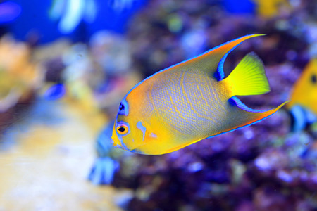 Queen angelfish  Holacanthus ciliaris  photo