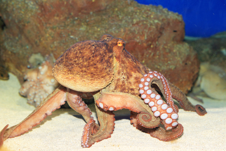 bonaire: Common octopus  Octopus vulgaris  in Japan