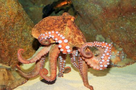 live coral: Common octopus  Octopus vulgaris  in Japan