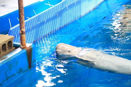 porpoise: Finless Porpoise  Neophocaena phocaenoides  in Japan