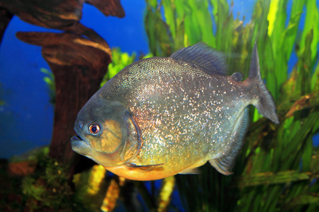Red-bellied piranha  Pygocentrus nattereri   photo