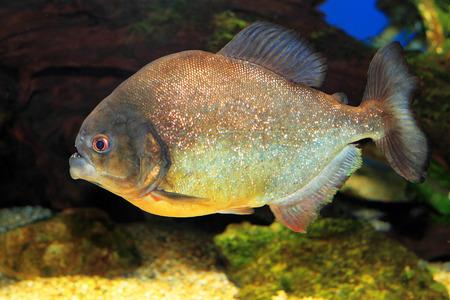 pygocentrus: Red-bellied piranha  Pygocentrus nattereri