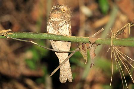 palawan: Palawan Frogmouth Batrachostomus chaseni en Palawan, Filipinas