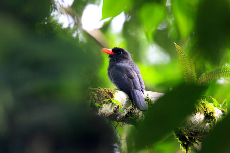 Black-fronted Nunbird  Monasa nigrifrons  in Ecuador photo