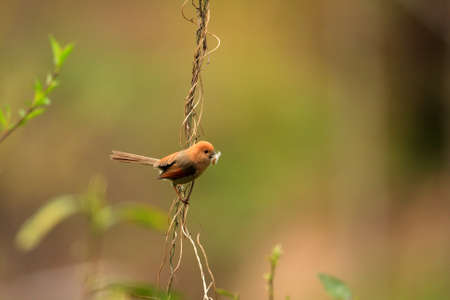 brown throated: Vinous-throated Parrotbill  Sinosuthora webbiana  in China
