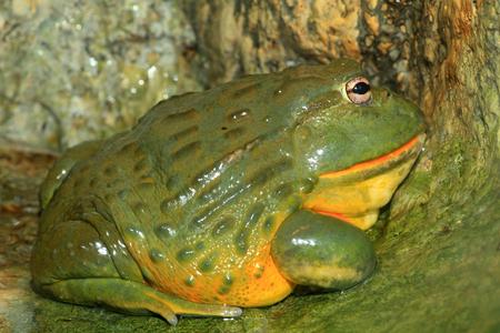 African bullfrog  Pyxicephalus adspersus  Stock Photo
