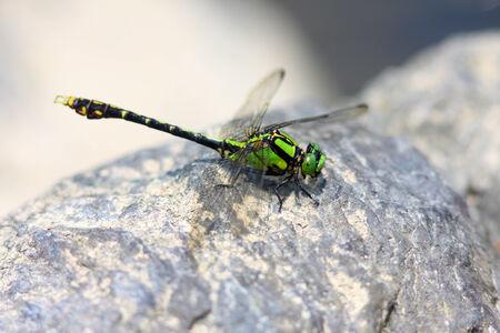 viridis: Nihonogomphus viridis dragonfly