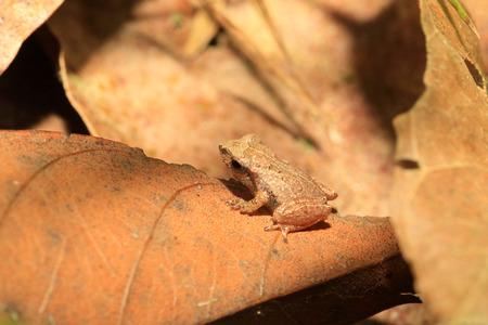 Kitulgala フォレスト、スリランカでスリランカ固有種のカエル Pseudophilautus schneideri