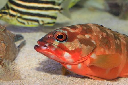 epinephelus: Blacktip grouper   Epinephelus fasciatus  in Japan