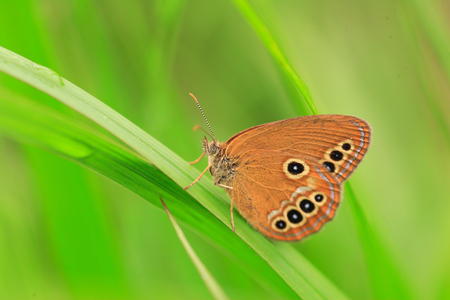 ringlet: The False Ringlet butterfly  Coenonympha oedippus  in Japan