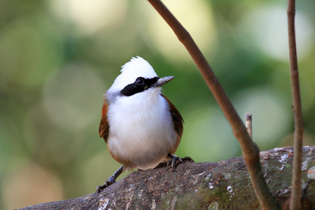 white crested laughingthrush: White-crested Laughingthrush  Garrulax leucolophus  in Yunnan , China