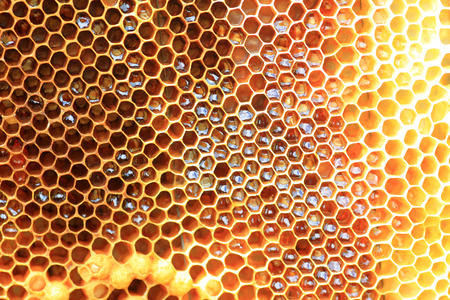 apis: Honey Bee  Apis mellifera  nest in Japan