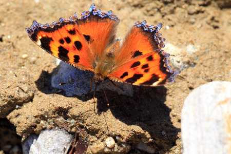 nymphalis: Scarce tortoiseshell butterfly  Nymphalis xanthomelas japonica  in Japan