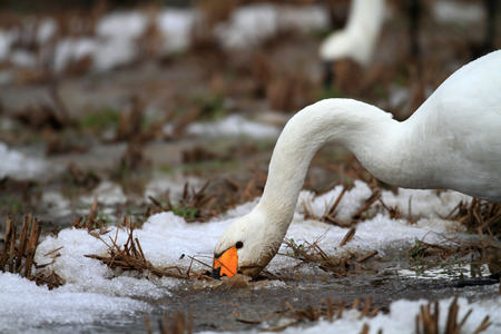 Tundra swan  Cygnus columbianus  in Japan Stock Photo