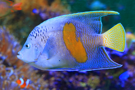 pomacanthus:  Halfmoon angelfish  Pomacanthus maculosus