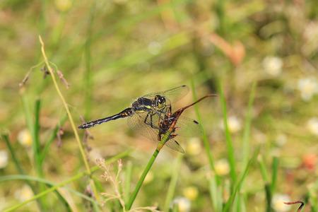 darter: Black Darter dragonfly  Sympetrum danae  in Sichuan, China
